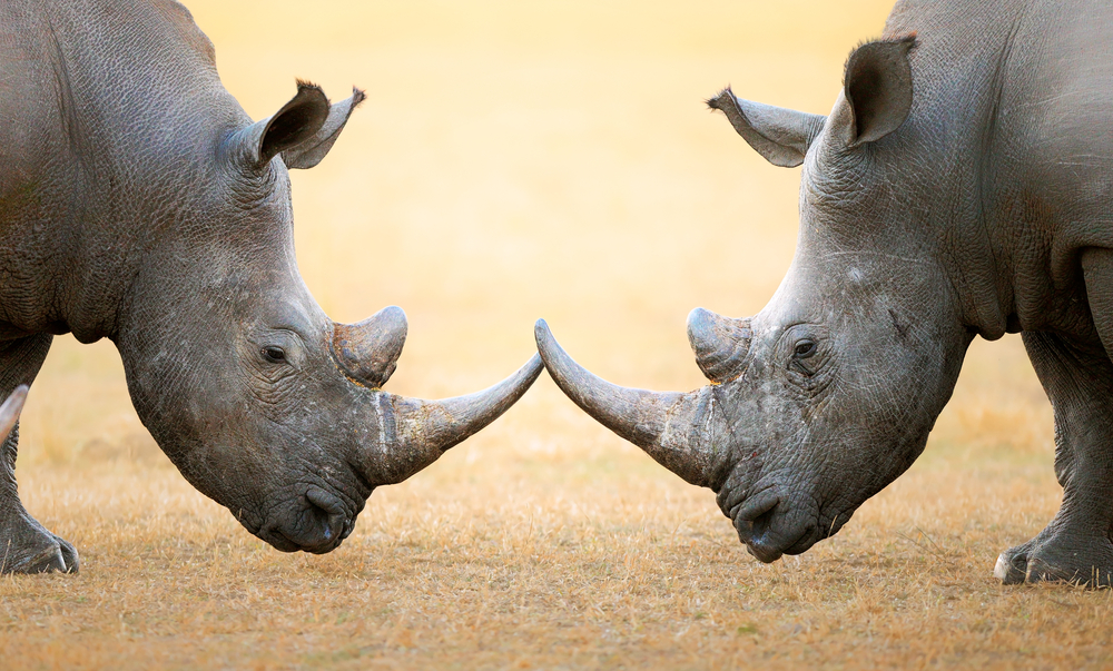 rhinoceros' fight head to head